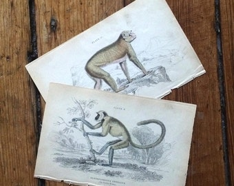 1833 pair of monkeys original antique animal prints - entellus monkey & barbary ape