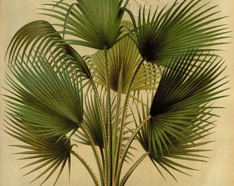 antique french botanical print thrinax caribbean palm tree illustration digital download