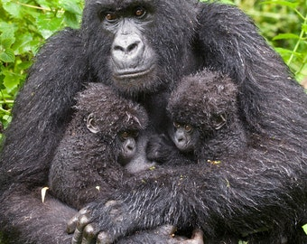 Baby Animal Twins Photo, Mom & Baby Gorilla Print, Baby Animal Photography, Wildlife Photography, Kids Room, Nursery Art, Baby Monkey, Green