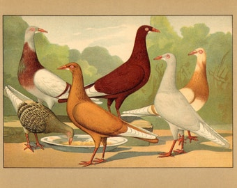 1910 Long-faced Tumbler Pigeons Brilliantly Coloured Antique Chromolithograph