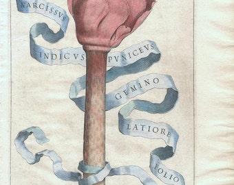 Antique 1st Edition Botanical Engraving, Giovanni Ferrari, Narcissus Indicus Puniceus Gemino Latiore Folio, 1638