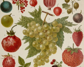 1900 Antique print of FRUITS: STRAWBERRIES, BERRIES, grapes ... Botany. 116 years old lithograph.