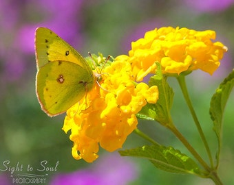 Yellow Butterfly Print, nature photography, insect art, orange sulphur butterfly photo, yellow flowers, country home décor, fine art print