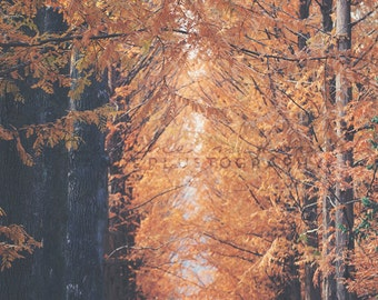 Metasequoia - Photographic Print - fall, travel, Art, Wall, Hanging, Decor, Photography, asia, leaves, seoul, asian, orange, autumn, sequoia