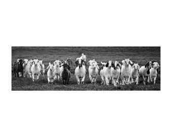 Goats Fine Art Photography Black and White Out West goat herd quirky ranch humor farm animals Western Art stampede Unique Country chic smile