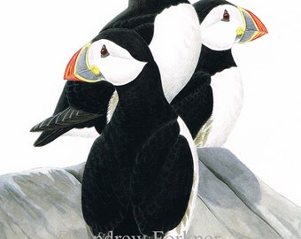 Atlantic Puffins. Limited Edition Fine Art Giclee print. Individually signed and numbered by the artist.