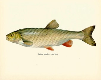VINTAGE FISH Art PRINT The Chub Vintage 1972 Print Beautiful Home Decor Antique Gallery Wall Print (fwf 23)