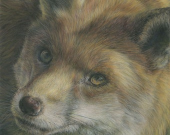 Curious Fox - from an original pastel painting by D Y Hide, signed by the artist, also available as a greetings card