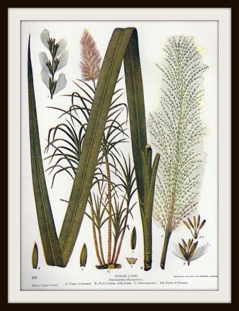 Sugar Cane Botanical Book Print 1930s Frameable Wall Art