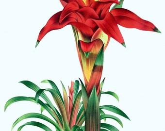antique french botanical print rainforest tropical red flower illustration digital download