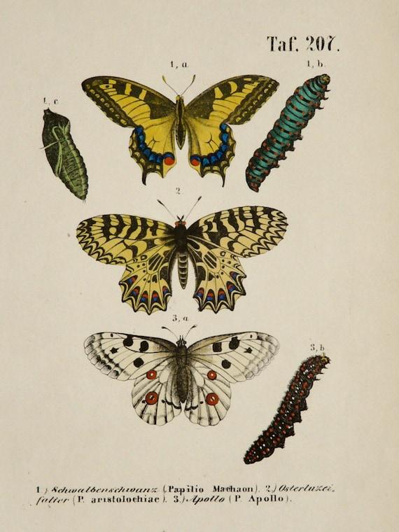 1854 antique imprim des papillons des esp ces diff rentes - Differentes especes de pins ...