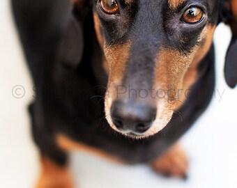 Dachshund Dog Print - Wiener Dog Photo - Black and Brown - Puppy Dachshund - Cute Dog  8x10 8x8 10x10 11x14 12x12 20x20 16x20 - Photography
