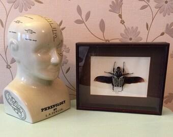 Vintage specimen framed and mounted Goliath beetle entomology