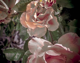 Rose Photograph, Pink Roses, Pink Nature Print, Peach And Pink, Peach Flower Print, Valentine's Day, Roses For You by Paula DiLeo_13115
