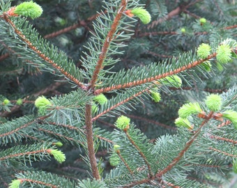 Pine Tree Branches Photo, Pine Tree Print, Country Photography, Rural Photos