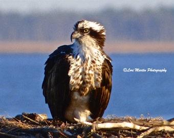 A Curious Osprey