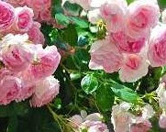 Pink Climbing Rose Seeds, Climber, Perennial Flower, Heirloom, Beautiful Cut Flowers