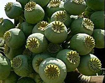 Papaver Somniferum - The Giant - 300 Seeds - Poppy