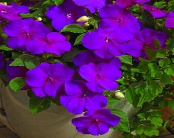 50 Impatiens Seeds Extreme Violet Flower Seeds