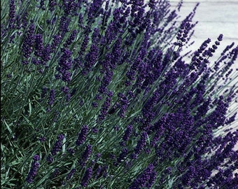 50 Seeds Lavandula Early Blue Scent ( Perennial ) Blue Lavender
