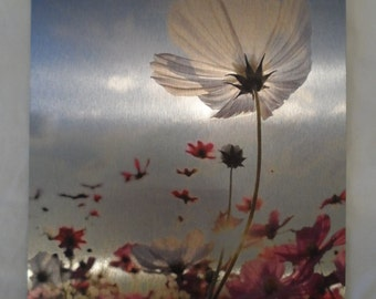 Cosmos, Pink and White, Blue Sky, Flower, Metal Print, 8x10