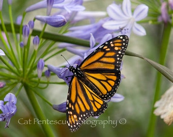 PRINT Nature Photography Butterfly Photo: Orange and black butterfly amongst purple blooms. Nature and Wildlife Photography by Cat Pentescu