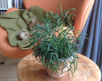 Hatiora salicornioides - 1 cutting - 10 cm