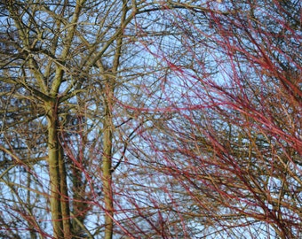 Fiery red tree, blue sky, nature, photographic print