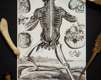 Human Anatomy Illustration: Vintage 5X7 Print