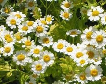 Feverfew Seeds, Herb Seeds, Naturally Grown in the Pacific NW