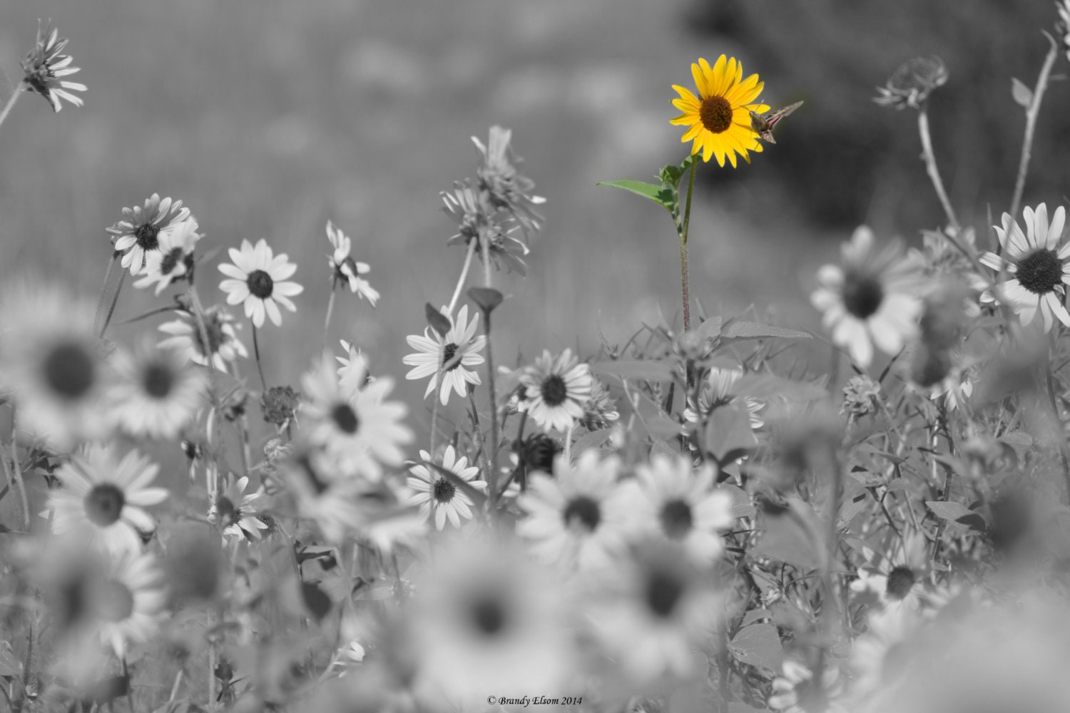 Flower Photography Sunflower Photography Black And White - Black and white photography with color accents