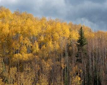 Nature Photograph - The Pine Tree