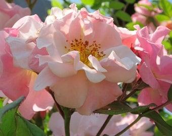 Pink Roses Blue Sky