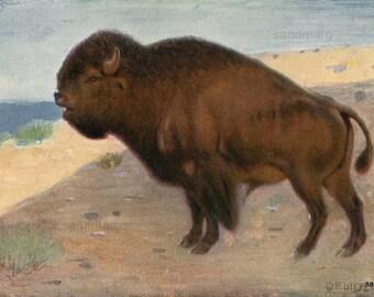 Vintage Chromolithograph Bison 1906 Natural History Print to Frame