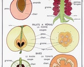 French Vintage Fruit Chart School Poster Mid Century Kitchen Tomato Grape Rasberry Apple Cherry Art