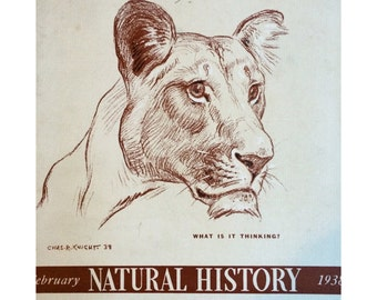 Natural History Magazine cover, February 1938 w. lioness