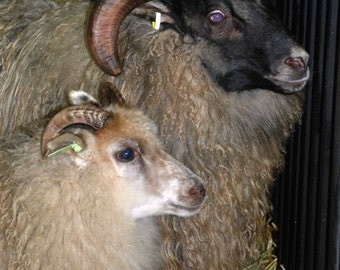 ADOPT a  ICELANDIC Sheep club- for 3 months bulky yarn this is THOR  (this is Not for the live Animal )