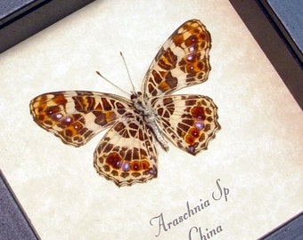 Real Framed Araschnia Sp Verso Butterfly Shadowbox Display 8224