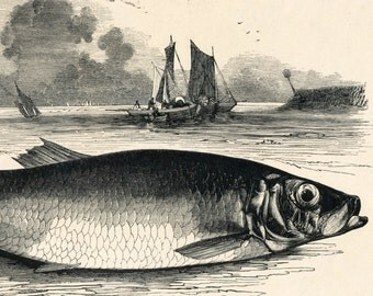 1840s-1850s Antique Engraving of the Herring