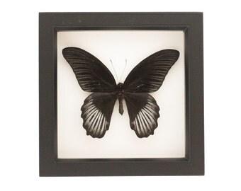 Framed Butterfly Art Scarlet Mormon Natural History Specimen