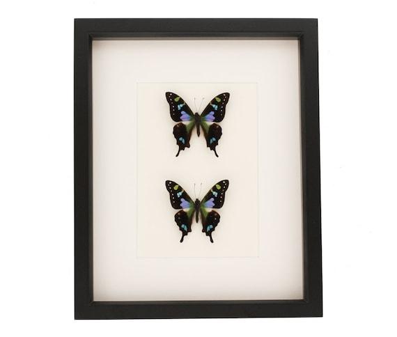 Framed Butterflies Purple Mountain Butterfly Display