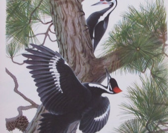 Menaboni's Birds/PILIATED WOODPECKER/1950s Color Plate/Bookplate/Unframed Book Page Print
