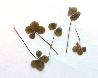 Antique Dried Four-Leaf Clovers for Good Luck