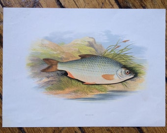 1879 roach fish print original antique sea life ocean marine animal print by houghton