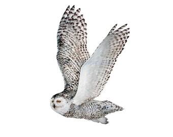 Snowy Owl in Flight - Original Watercolor