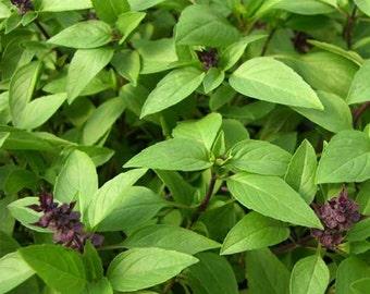 Organic Thai Basil Seeds