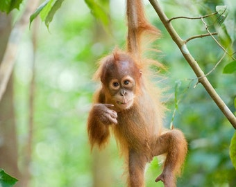 Baby Animal Photography, CUTE BABY ORANGUTAN Photo Print , Wildlife Photograph, Jungle Nursery Art, Kids Room, Monkey, Green, Baby Shower