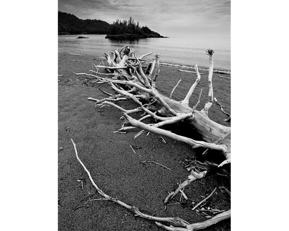 Lake Superior Driftwood Beach with Fallen Driftwood Tree by WaWa Ontario Canada A Black and White Fine Art Lakeshore Nature Photograph