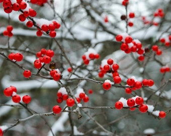 winter berries with snow, 8x10 fine art color photograph