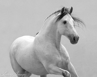 Grey Spanish Stallion Runs - Fine Art Horse Photograph - Horse - Black and White - Horse - Fine Art Print